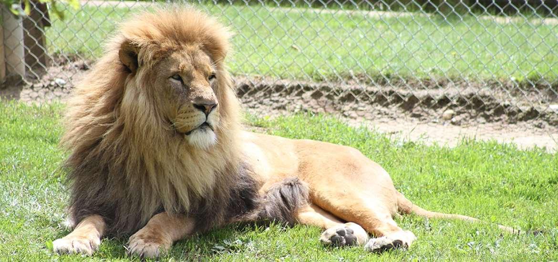 TTDA  - Africa Alive - Lion