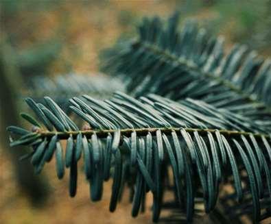 Josh Simpson - Pine tree
