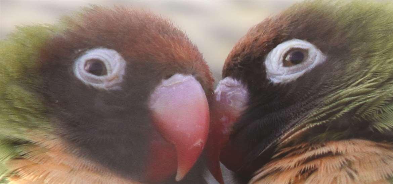 Africa Alive! Love Birds on the Suffolk Coast