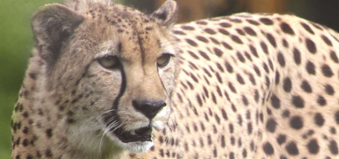 Cheetah at Africa Alive