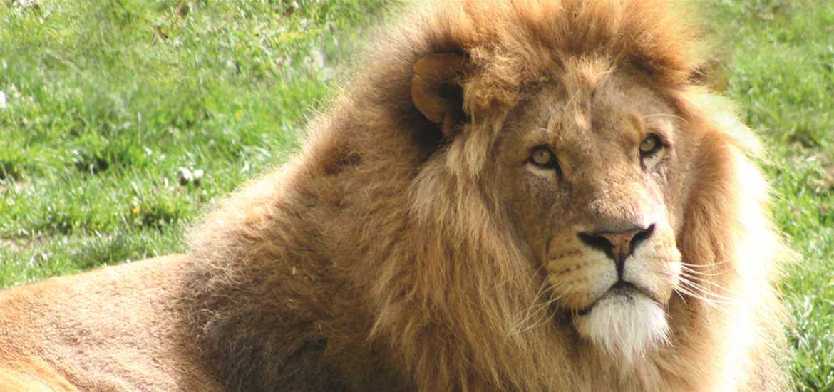 Africa Alive! Lions on the Suffolk Coast
