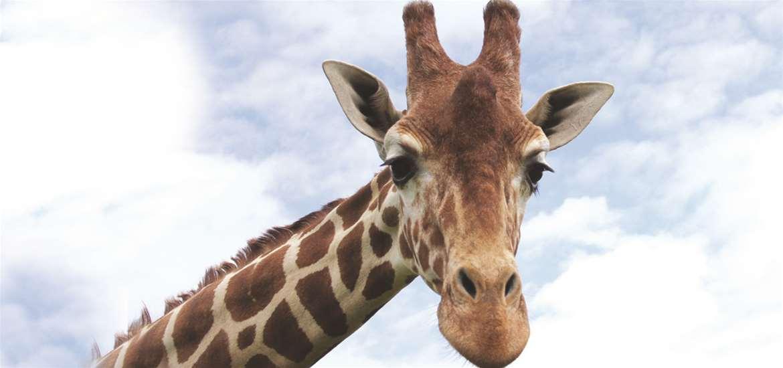 Africa Alive! Giraffes on the Suffolk Coast