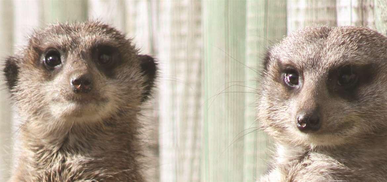 Africa Alive! Meerkats on the Suffolk Coast