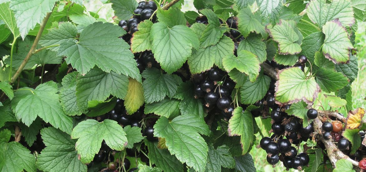 Blackcurrants from Saddlemakers Lane Pick Your Own in Melton