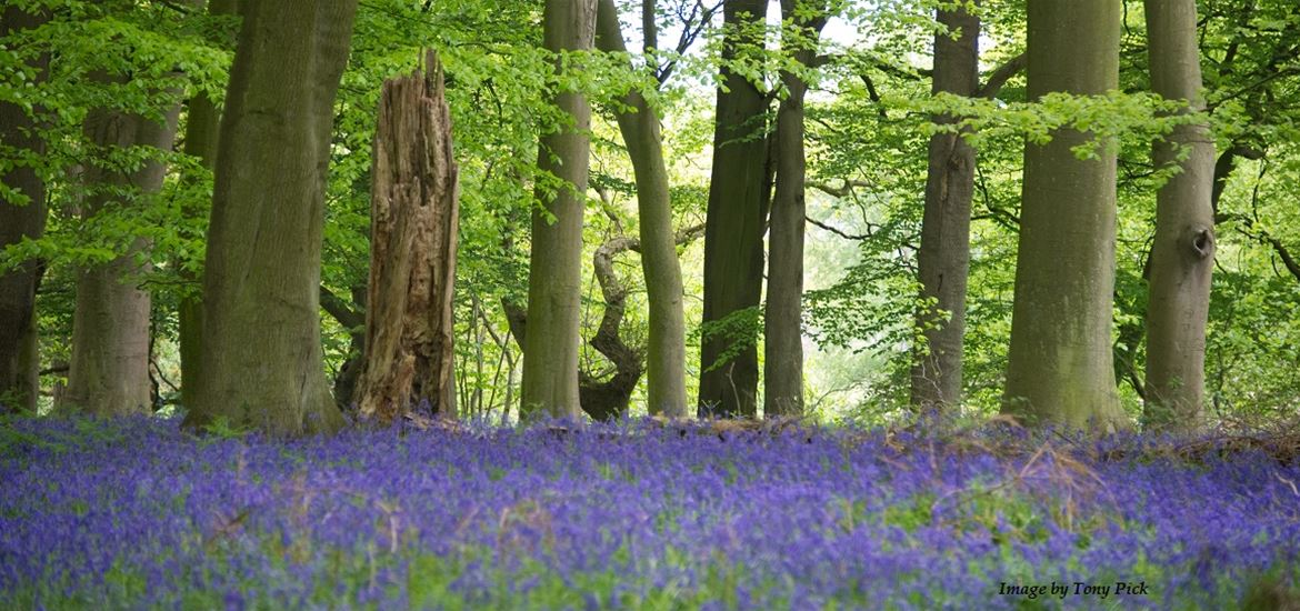 Bluebell wood by Tony Pick