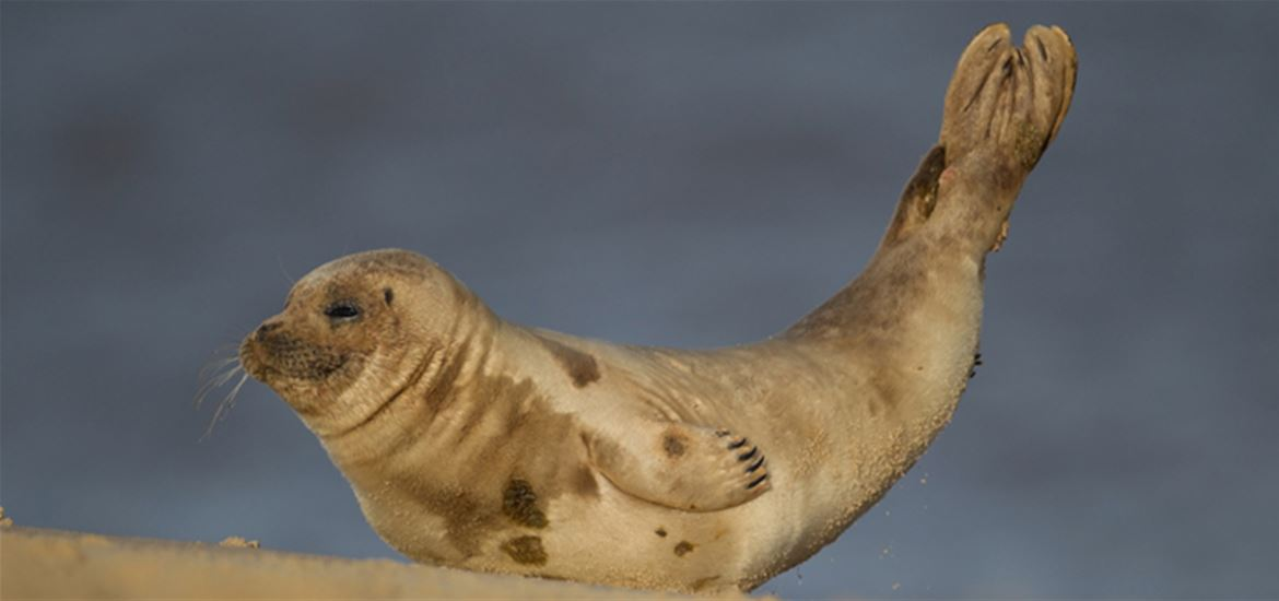Common Seal - (c) Kevin Sawford