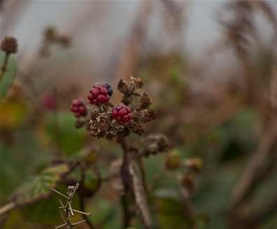 Last of the Summer Walks - Berries - (c) Emily Fae Photography