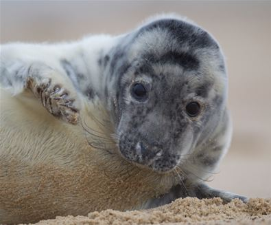 Grey Seal Pup - (c) Kevin Sawford