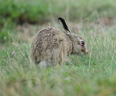 Hare Photography Day<br> on RSPB Havergate Island