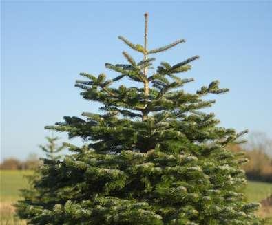 Get yourself a Suffolk Coast Christmas Tree!