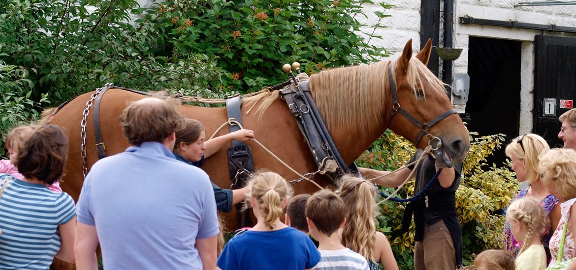 The Suffolk Punch Horse in Harness
