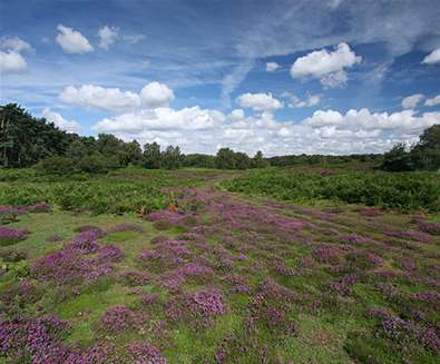 Suffolk Wildlife Trust - Heather at Blaxhall Common