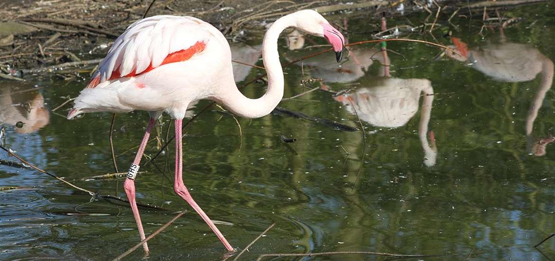 TTDA - Africa Alive - Flamingoes