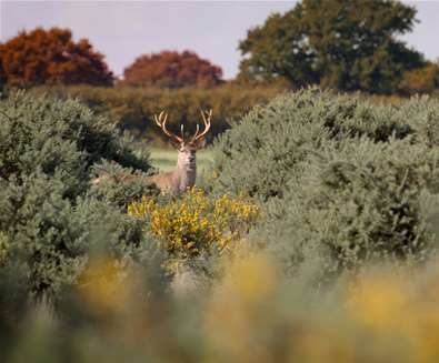 Things to Do - Nature - Red Deer - The Suffolk Coast