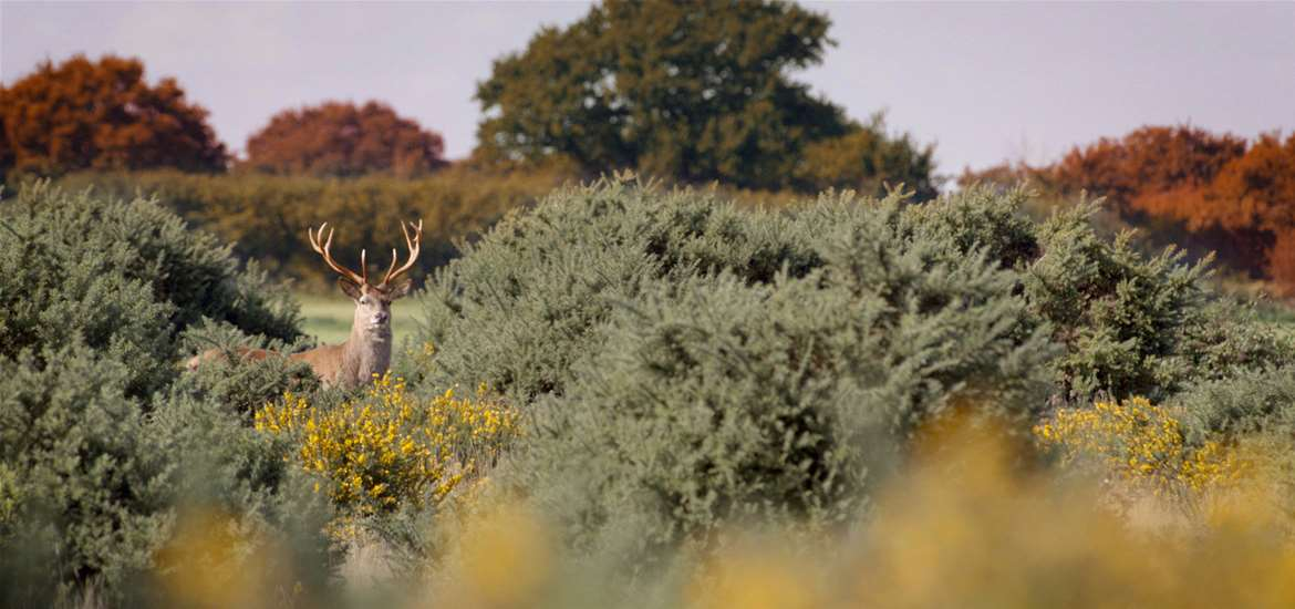 Suffolk Coast - Red Deer Rut on Westleton Heath