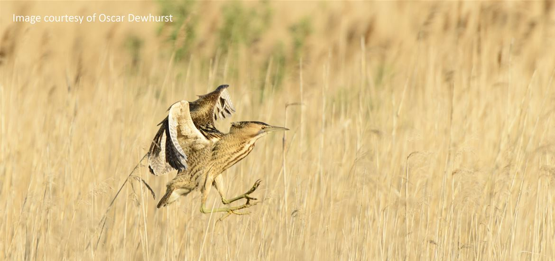 BBC Springwatch - Bittern - RSPB Minsmere Nature Reserve - (c) Oscar Dewhurst