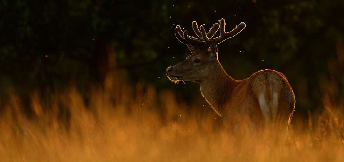 RSPB Red Deer Rut - credit Ben Andrew