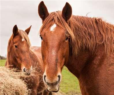 Suffolk Punch Trust Horses