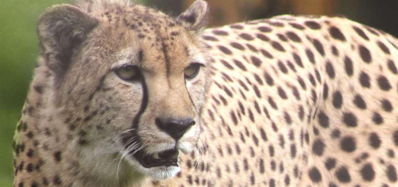 Cheetah at Africa Alive