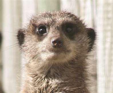TTDA - Africa Alive - Meerkat