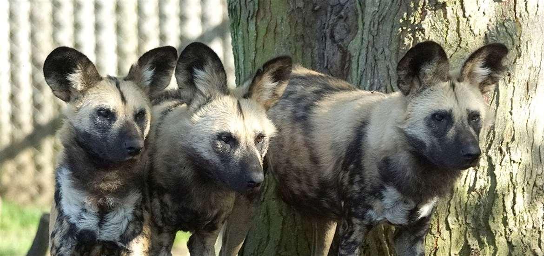 TTDA - Africa Alive! - Hyenas