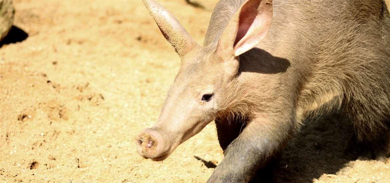 TTDA - Africa Alive! - Aardvark