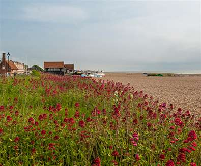 Aldeburgh Beach - Flora and Fauna - Gill Moon Photography
