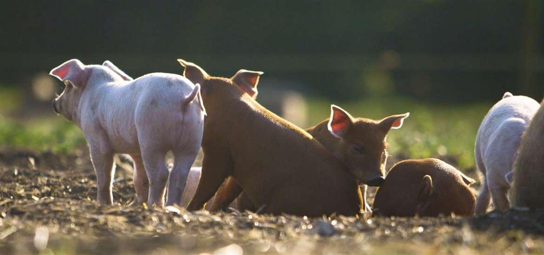 FD - Blythburgh Pork