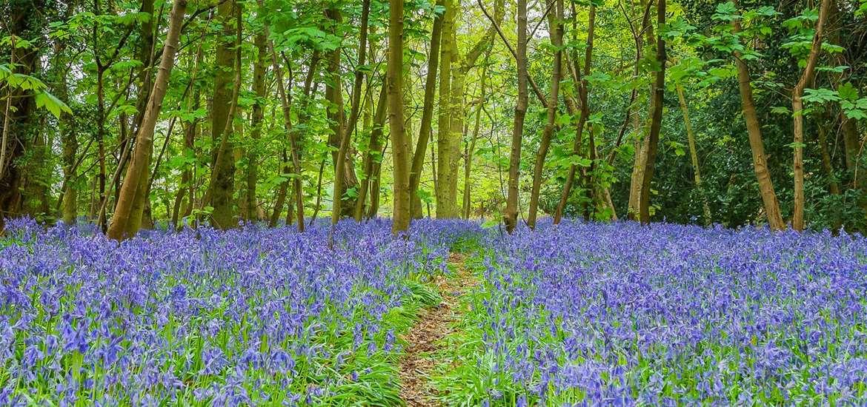 Best of Suffolk Springtime Bluebells 2019
