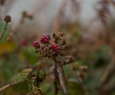 Cove Hithe - Berries in Autumn - Photography by Emily Fae