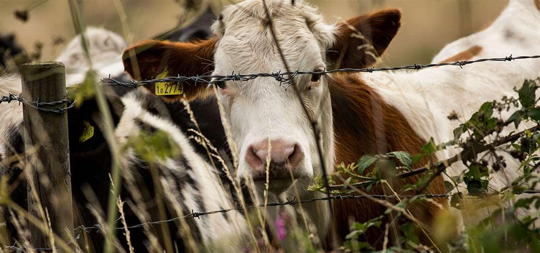 FD - Fen Farm Dairy - Calf