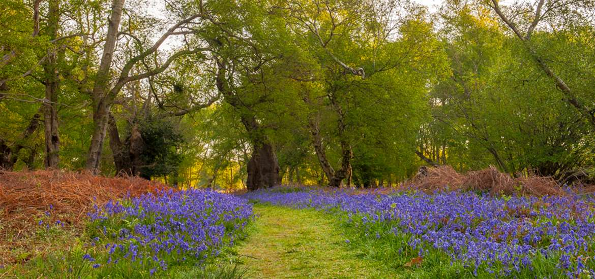 Bluebell Walks on the Suffolk Coast by Gill Moon