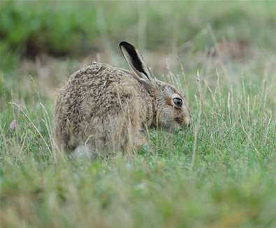 March Hare - (c) Kevin Sawford Photography