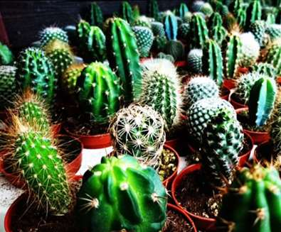 TTDA - Urban Jungle - Cacti
