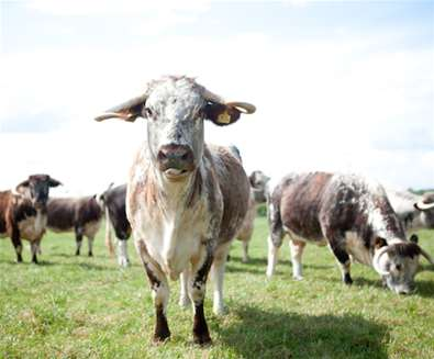 Kenton Hall - Longhorn Beef