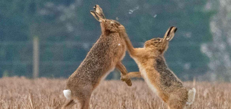 TTDA - Wildlife, Wings & Wheels - Hares