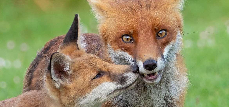 TTDA - Wildlife, Wings & Wheels - Foxes