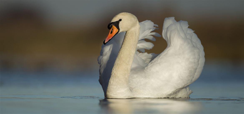 Mute Swan (c) Kevin Sawford