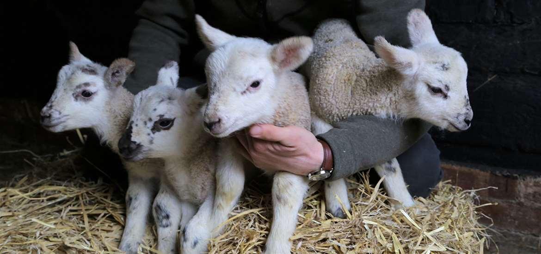 TTDA - Easton Farm Park - Lamb Quadruplets