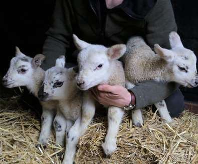 TTDA - Easton Farm Park - Lambs