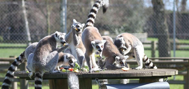TTDA - Africa Alive! - Lemurs