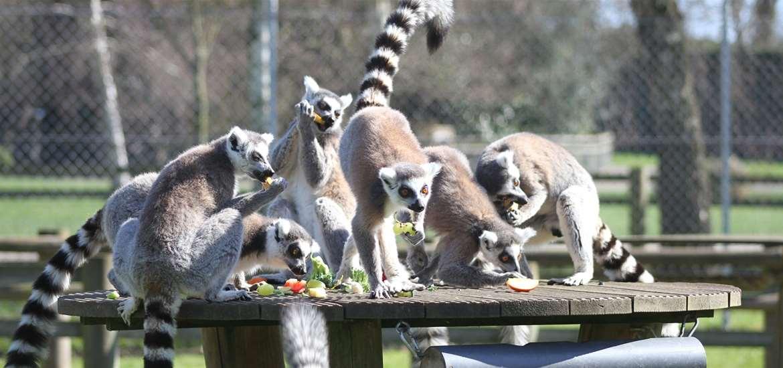 TTDA - Africa Alive - Lemurs