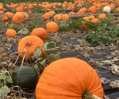 TTDE - Southwold Maize Maze - Pumpkins