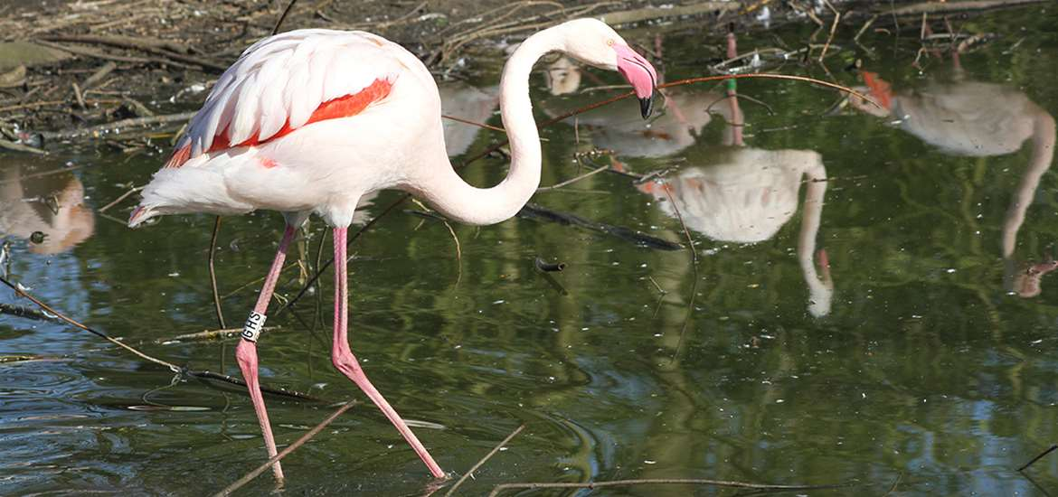 TTDA - Africa Alive - Flamingoes