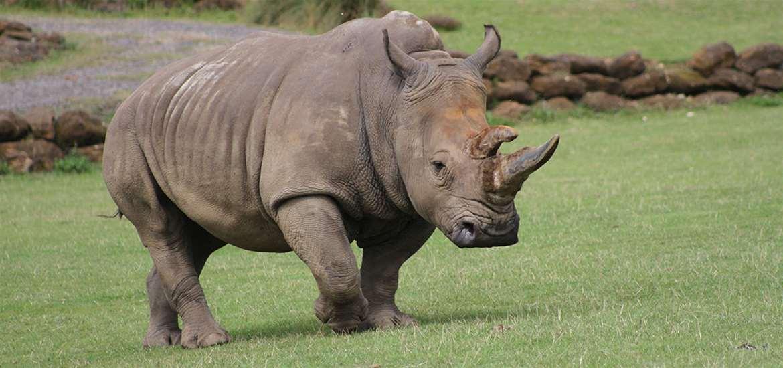 TTDA - Africa Alive - Rhino