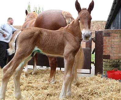 Easton Farm Park welcomes Suffolk Punch foal!