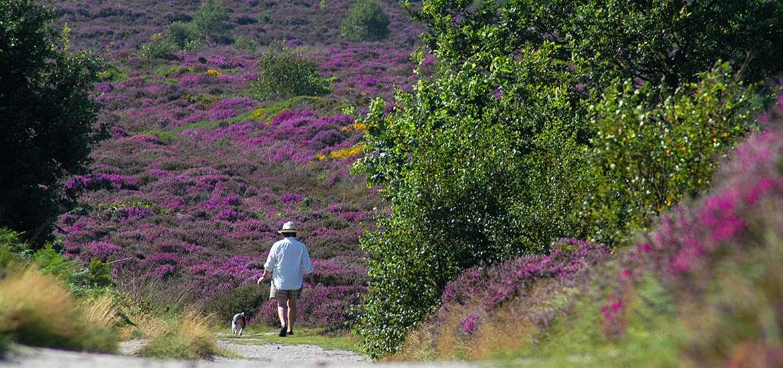 TTDA - National Trust Dunwich Heath - Dog walker in heather