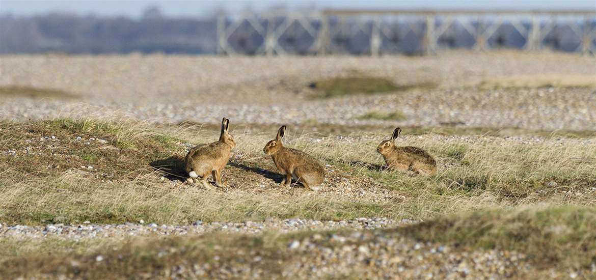 TTDA - National Trust Orford Ness - Hares