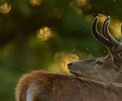RSPB Minsmere - Red Stag