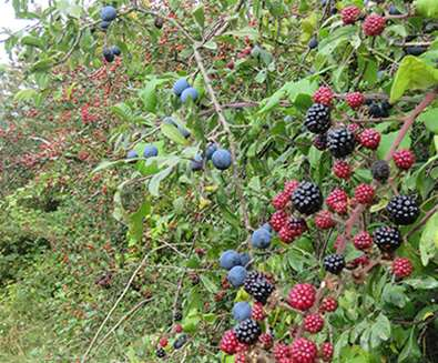 TTDA - RSPB Minsmere - Hedgerow berries